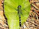 Unknown dragonfly - Erythemis simplicicollis - female