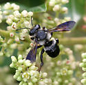 Carpenter-mimic Leafcutter - Megachile xylocopoides - male