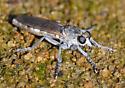 Asilidae? - Stichopogon trifasciatus - female