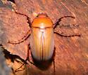 Scarabaeidae Identify Request - Phyllophaga prununculina