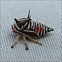 Platycotis vittata (Oak Treehopper) nymph - Platycotis vittata