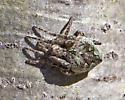 Another Arachnid UID - Eustala anastera