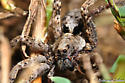 Lycosidae? - Gladicosa pulchra