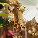 Skipper in Southern Wisconsin - Hylephila phyleus