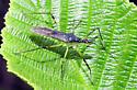 bug - Zelus luridus
