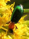 Beetle - Calleida punctata
