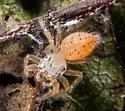 Thiodina puerpera - female