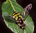 Syrphid on Willow at Lily Lake - Didea fuscipes - female