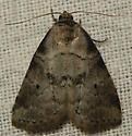 dotted graylet moth - Hyperstrotia pervertens