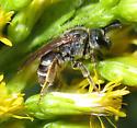 Bee - Halictus confusus