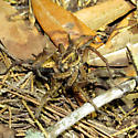 Mating Wolf Spiders - Hogna lenta - male - female