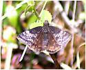 Duskywing - Erynnis afranius - female