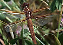 Flame Skimmer, female - Libellula saturata - female