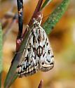 Moth ID request - Loxostege cereralis