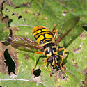 Large yellow fly - Milesia virginiensis