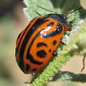adult beetle - Calligrapha serpentina