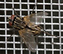 Fly - Sarcophagidae perhaps? - Musca