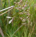 marsh crane fly - Tipula oleracea - male