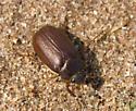 May Beetle - Phyllophaga