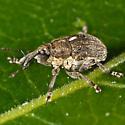 Unknown Tiny Weevil - Glocianus punctiger