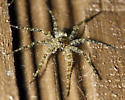 Very small fishing spider? - Dolomedes albineus