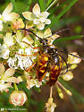 Perhaps a beetle - Typocerus