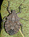 Stink Bug - Brochymena quadripustulata