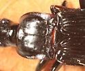 Woodland Ground Beetle - Dicaelus politus
