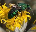 Cuckoo Wasp - Parnopes edwardsii (or fulvicornis?) - Parnopes edwardsii - female