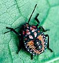 Twice-Stabbed Stink Bug Nymph - Apoecilus