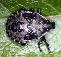 immature stink bug in wild blueberry - Picromerus bidens