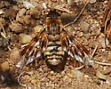 Orange County Bee Fly Archives - Thyridanthrax nugator
