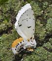 Estigmene acrea - female