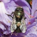 Parasitised - Orchard Bee? - Osmia lignaria - female