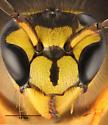 Vespidae-ish - Vespula squamosa - female