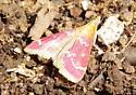 Rasberry Pyrausta Moth (Pyrausta signatalis)? - Pyrausta signatalis