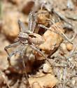 Apollophanes margareta male? - Thanatus - male
