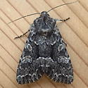 Noctuidae: Platypolia loda - Platypolia