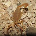 Tiny AZ scorpion - Centruroides sculpturatus