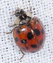Native Ladybird Beetle? - Harmonia axyridis