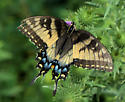 Swallow-tail - Papilio glaucus - female
