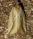 moth - Argillophora furcilla
