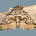 Toxonprucha diffundens - Toxonprucha excavata