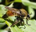 Laphria fernaldi - male
