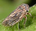Ceratagallia