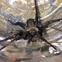 Species of wolf spider?  - Calisoga