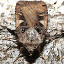 Brownish Moth - Xestia c-nigrum