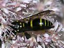wasp - Ancistrocerus adiabatus