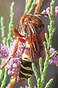 large wasp - Sphecius grandis