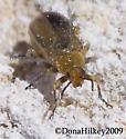 Unid Beetle - Erynephala puncticollis